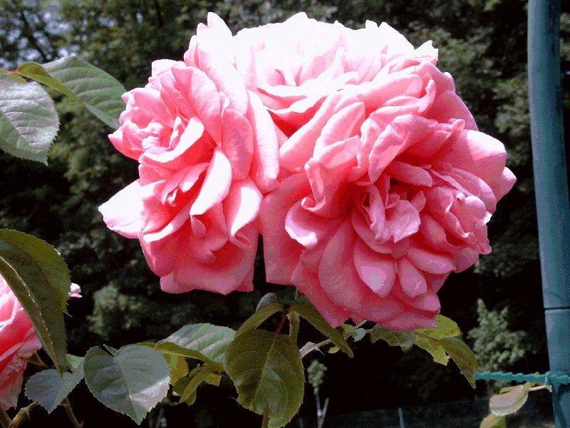 http://www.cathjack.ch/images/images_jardin_collonge/roses_kimonog0008.jpg